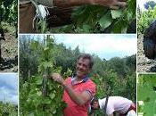 L'equilibrio miracolo. potatura verde Tenuta Fessina