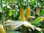 Seminato Friuli mais OGM: reato annunciato
