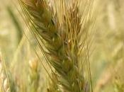 Robella d'Asti: cerchi grano? Appaiono Crop Circles