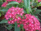 fiori Pentas lanceolata serra