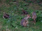 Video Nati cuccioli lupo Parco Nazionale d'Abruzzo