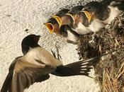 Dove vanno rondini quando migrano inverno?