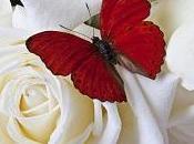 Filinta farfalla