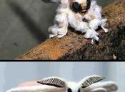 falena barboncino Poodle Moth-