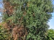 """Istituto Tecnico Agrario Presta"""" Lecce 21/09/2013 Visita guidata osservazioni presso oliveti situati Sud-Est Gallipoli interessati disseccamento della chioma"""