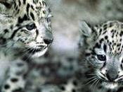 Notizia tenera: india nato cucciolo leone delle nevi