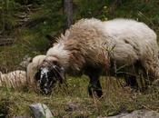 mezzo alle Pecore
