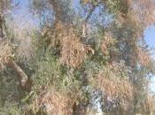 Puglia, ulivi uccisi batterio killer; anche l'Umbria rischia deserto.