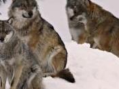 L'ibrido minaccia lupo: intervista Luigi Boitani