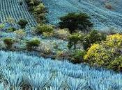 Tequila Julio 1942= leggenda diTequila