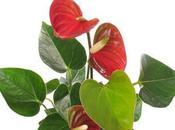 anthurium dalle foglie belle colorate come fiori