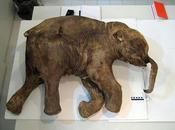 mammut potrebbero presto tornare vivere