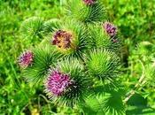 Oggi nella rubrica: erbe tintura, infuso, olio essenziale, Bardana