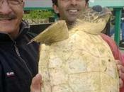 Salvato grosso esemplare tartaruga marina Capri