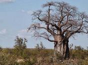 Sapore Baobab
