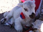 Pasqua: strage degli agnellini innocenti