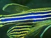 Pesce zebra: speranza recupero attacco cardiaco