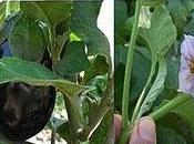 marangiane Salento leccese Melanzana Solanum melongena
