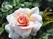 rose, regine giardini