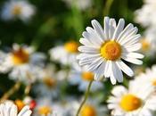 fiore mese: margherita