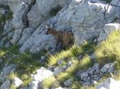 Camoscio d'Abruzzo: camoscio bello mondo