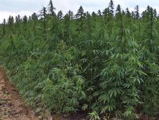"""Italia, aumento orti legali cannabis: l'economia futuro"""""""