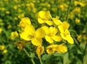fiori bach mustard