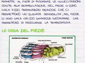 L'anatomia piede