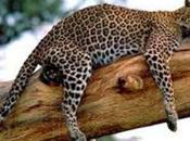 giaguaro braccato bracconieri commercializzano pelle.