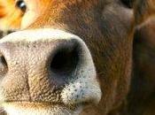 Carne bovina italiana: trattata sostanze vietate