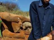 L'elefante africano potrebbe essere estinto 2030 Firmate petizione!!!