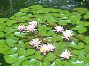 rinascita tuoi sogni fiori loto