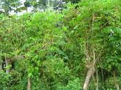 Moringa: l'albero della vita