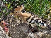 """cacciatori vettore """"XYLELLA FASTIDIOSA subspecie pauca ceppo CoDiRO ovvero Uccelli (Avifauna) mangiano insetti negli oliveti Salento leccese"""