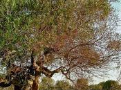 """Molto probabilmente Xylella fastidiosa ruolo primario determinismo """"Complesso disseccamento rapido dell'olivo"""" (olive rapid decline complex)"""