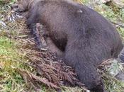 Morta l'Orsa Daniza. Rivolta degli animalisti, aperta un'indagine