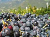"""L'uva """"cura dell'uva"""", dintorni Merano"""