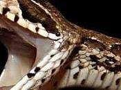 Morsi serpente: minaccia aumento