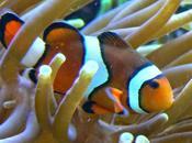 gufi anemoni mare