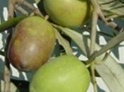 Aspetti produttivi caratterizzazione sensoriale delle principali cultivar olivo calabresi.