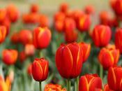 """""""Tulipomania"""": giornata nazionale tulipano colora Amsterdam"""