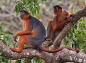 Colobo ferruginoso, scimmietta dell'Africa occidentale