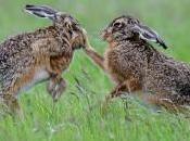 Come distinguere lepri conigli
