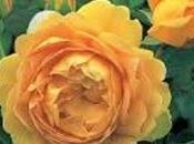 Rose Inglesi, Rosa Golden Celebration