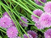 Come coltivare l'erba cipollina vaso