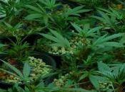Legalizzare marijuana: arriva legge nazionale?