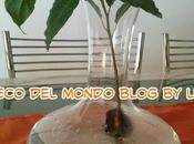 Pianta avocado idrocoltura