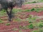 ipotesi tentare spiegare come oggi aprile 2015 alcuni olivi Gallipoli vegetano anche infettati Batterio Xylella fastidiosa subspecie pauca ceppo CoDiRo