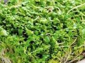 Come germogli broccoli possono prevenire tumori