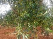 questi olivi vivi, sani fioritura Otranto zone limitrofe avessero loro vasi funghi Phaeoacremonium aleophilum, inflatipes Lecythophora lignicola batterio Xylella fastidiosa subspecie pauca ceppo CoDiRo?